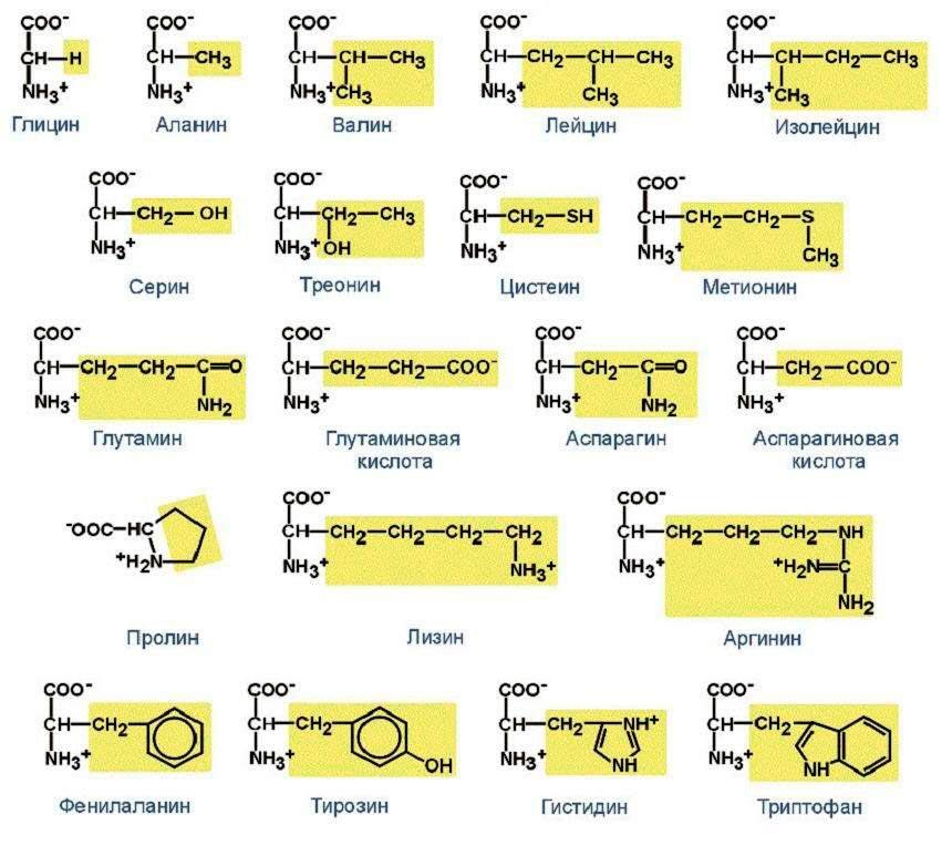 Важнейшие аминокислоты